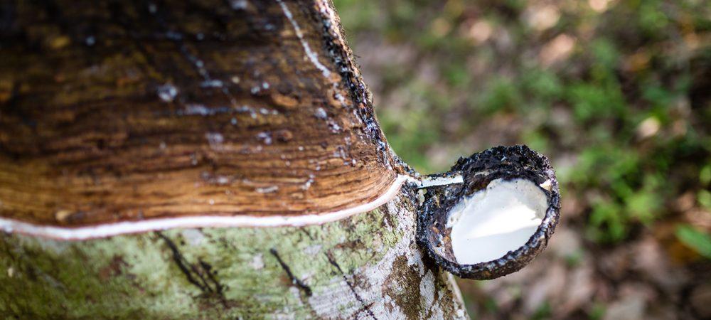 Kautschuk-Bau mit aufgefangener Milch